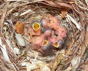 Vogeltjes (bonte vliegenvangers, Axel Strauß, GNU-FDL)